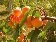 Саженцы купить. Ягодные кустарники. Плодовые деревья. Запорожье
