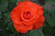 Купить саженцы роз из питомника. Запорожье