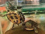 Красивейшие, активные красноухие черепахи 5 см. для содержания в аквариуме. Киев