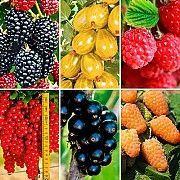 Купить ягодные саженцы. Купить саженцы плодово-ягодных культур Харьков