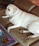 Продам щенков лабрадора ретривра палевого Мелитополь