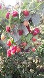 Продам саженцы малины Брусвяна со своего малиника. Прекрасный ремонтантный сорт - Брусвяны Днепр