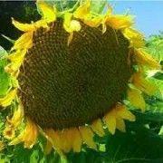 Семена подсолнуха ЯНИШ Любашёвка