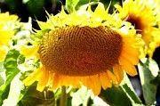 Семена подсолнуха АР 1801 Любашёвка