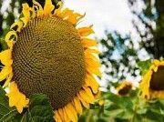 Семена подсолнуха РЕКОЛЬД Любашёвка