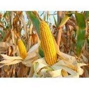 Семена кукурузы АР 18101 К ( ПАТРИЦИЯ ) Любашёвка
