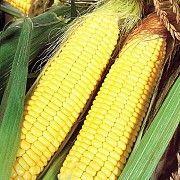 Семена кукурузы АФИНА Любашёвка