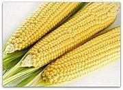 Семена кукурузы МОНБЛАН Любашёвка