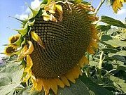 Семена подсолнечника ЕС Альфа Одесса