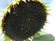 Семена подсолнечника ЕС Саксон Одесса