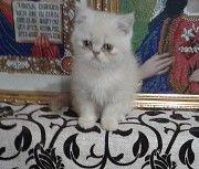 продам котят экзотов Каховка