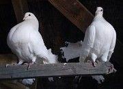 Продам голубей (голубів) Павлинов Городище