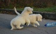 Продам щенков Запорожье