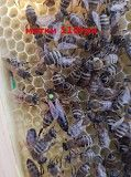 Ціна ще нижча на Бджолині матки ! Мукачево