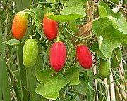 Кокцінія індійська, Coccinia indica, кокциния. Лохвица