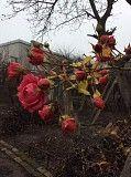 Продаю вьющуюся розу цветет до декабря и сильных морозов Харьков