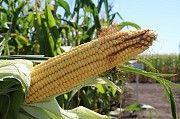 Кукуруза Данііл (ФАО 280) Умань