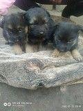 продаются щенки немецкой овчарки Краматорск
