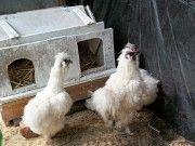 продам инкубационное яйцо декоративных кур и перепелок мясо-яичной породы Цюрупинск