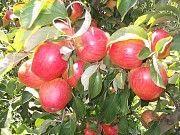 Продаємо яблука Черновцы