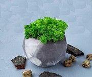 Эко-декор, скандинавский стабилизированный мох, в бетонном горшке Дніпро