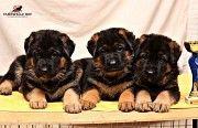 Элитные щенки немецкой овчарки от питомника! Киев