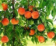 Саженцы плодовых деревьев и роз Изюм