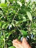 Піджива удобрение рослин плодових та декоративних Львов