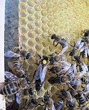 Пчеломатки карпатка Мукачево