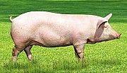 Свиньи живым весом. Свиньи на убой. Дніпро