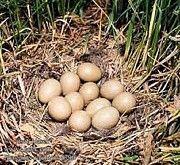 Инкубационные яйца охотничьих фазанов Новая Одесса