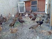 Молодняк охотничьих фазанов Новая Одесса