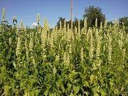 Продам семена и соцветья с листьями лофанта тибетского Лубны