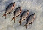Купить рыбу оптом. Плотва, густера, судак, лещ, окунь и др. Никополь
