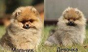 Шикарные малыши померанских шпицев Харьков