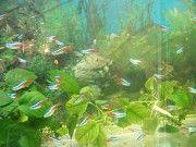 Аквариумная рыбка неон. Киев
