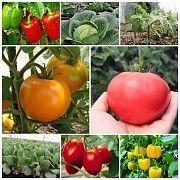 Продаємо розсаду- помідори,перець,капусту, квіти Обухов