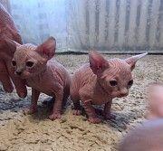 Продам котят(канадские сфинксы) Херсон