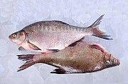 Продаж свіжовиловленої риби оптом Винница