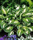 Хоста Undulata очень красивая и быстро растущая Переяслав-Хмельницкий