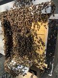 Карпатские плодные меченые пчеломатки (тип Вучковский) Мукачево