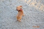 Породистая Крутая Мини Девочка Чи в 6 м.12 дн.- 900 грм.Фото на весах Киев