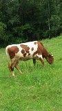 Продам корову Черновцы