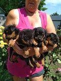 Продам щенков ротвейлера Павлоград