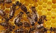 Продаються бджолосім'ї, рамки, суш Киев