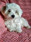 Продам щенка Мальтийской болонки. Артёмовск