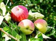 продажа саженцев плодово-ягодных культур Артёмовск