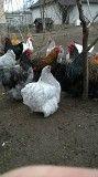 Подрощенные цыплята породистых кур орпингтонов,ливенских Киев