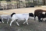 Продам или обменяю барана породы Дорпер Розовка