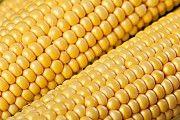 Куплю кукурузу с места. Херсон